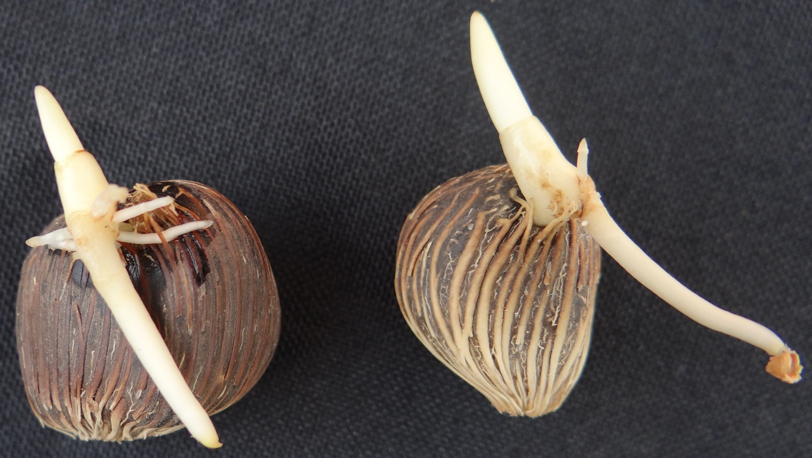 Normally germinated seeds of Palm