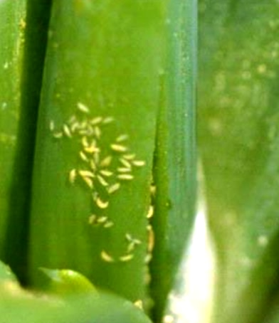 Thrips on neck region plant