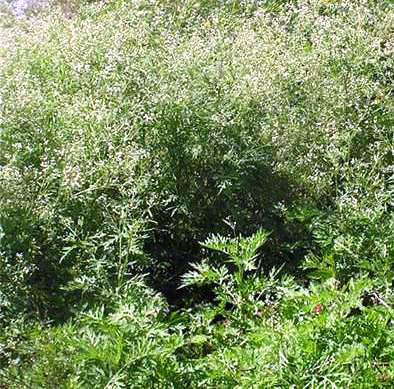 Effects and control of Parthenium grass