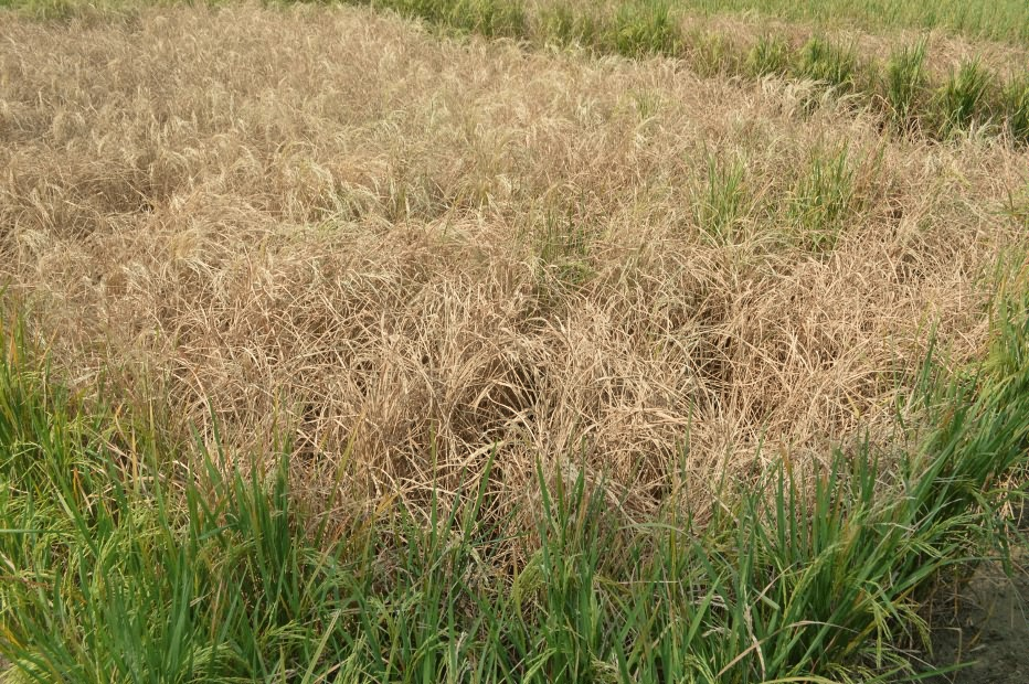 Rice crop Damage, caused by Brown plant Hopper