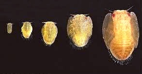 pupa of psyllid