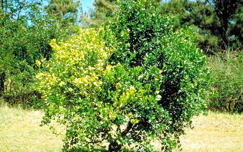 Symptoms due to citrus greening disease
