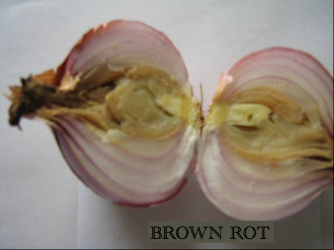 Brown rot of Onion