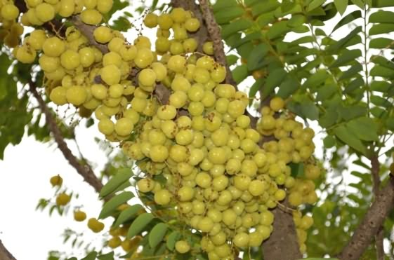 Fruits bearing plant of star gooseberry