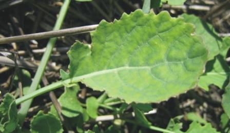 तिलहनी फसलों में गंधक की कमी