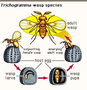 Life cycle of Trichogramma