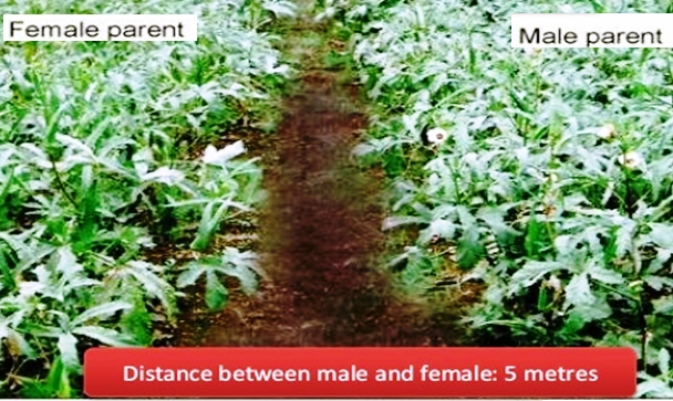 Distance between male & female lines in Okra seed production
