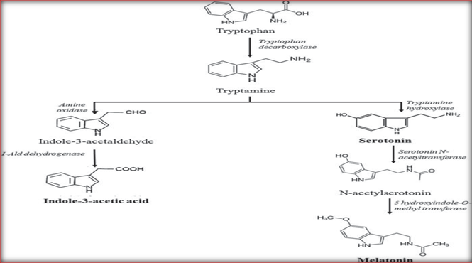 Biosynthesis of melatonin in plants