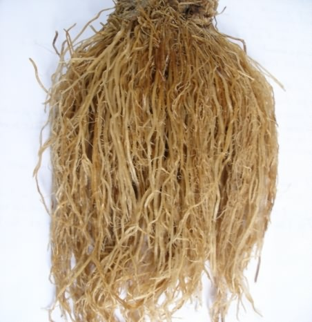 Normal roots of paddy plant