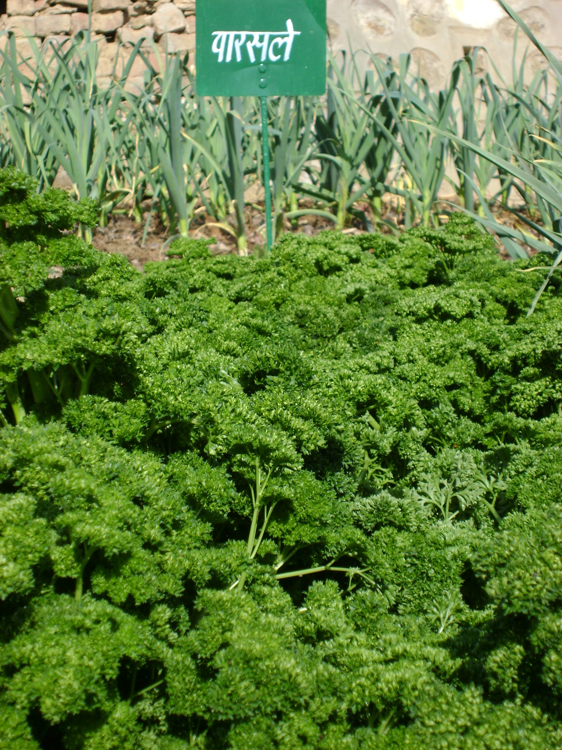 Vegetable crop parsle