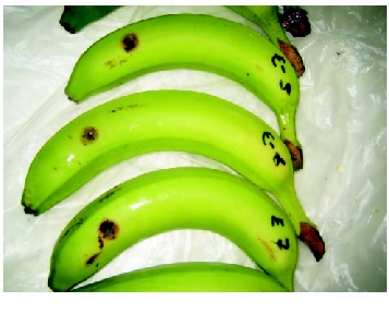 Banana Anthracnose disease