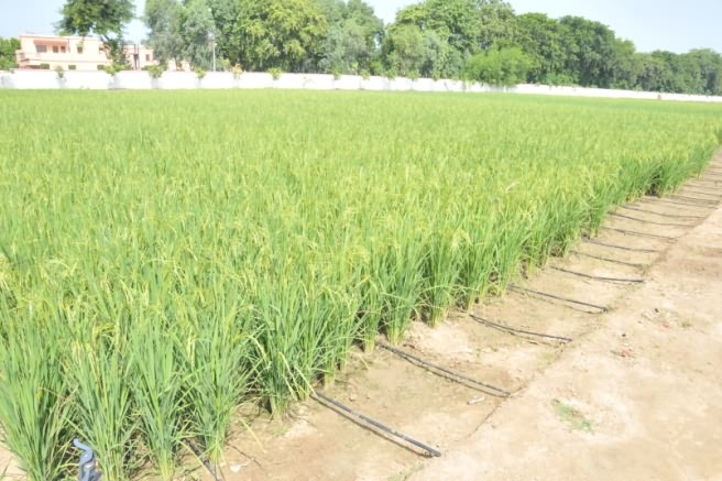 Drip irrigation system in paddy