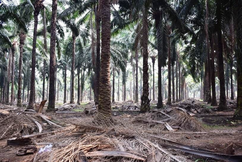 Mulching in Oil palm garden for irrigation management