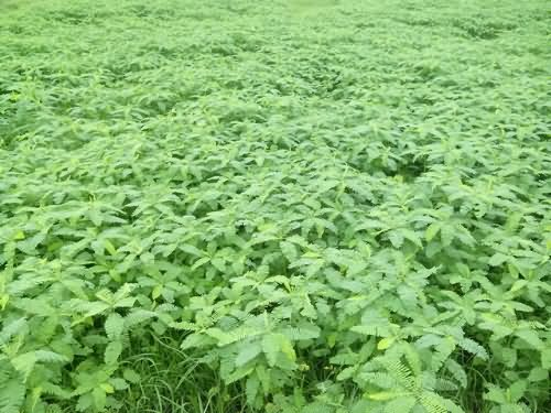 Green manure in wheat