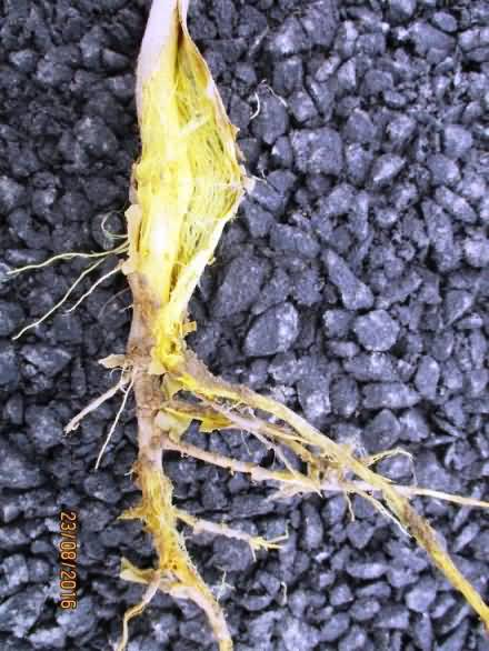 Root rot disease of Cotton crop