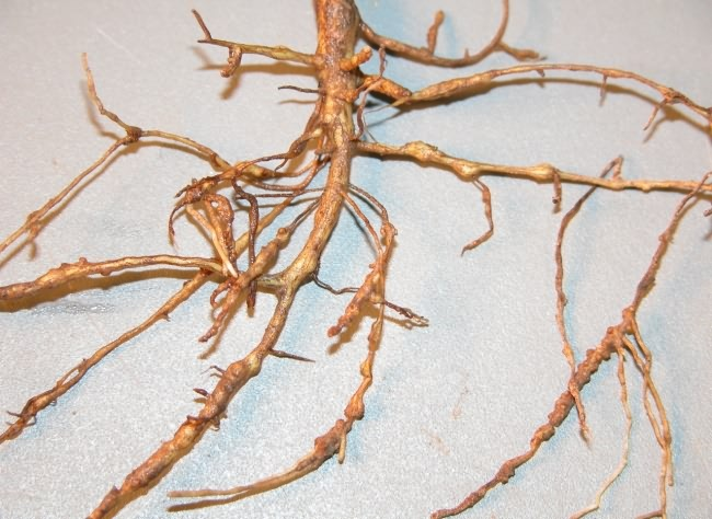 Lump on roots due to root knot nematode in cotton crop