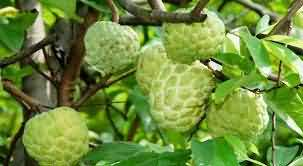 Custard Apple cultivation technique