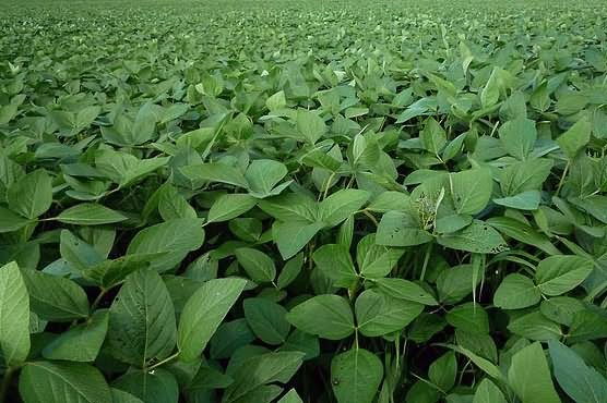Soybean crop in field