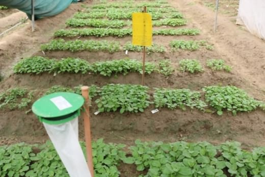 Pheromone trap for seedling safety from fruit and shoot borer