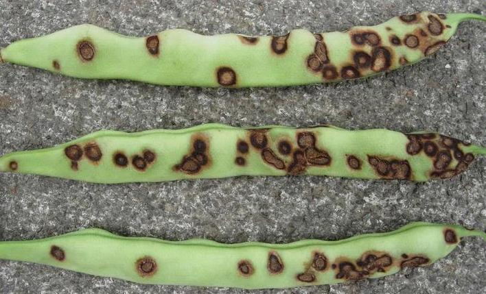 Anthracnose disease in Guar