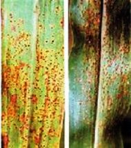 Bajra crop disease Rust