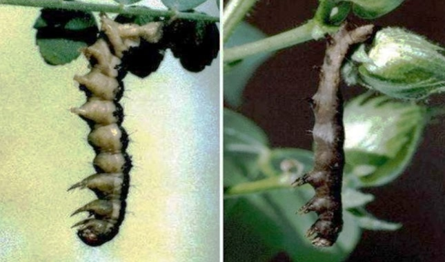 Infected larva of Helicoverpa armigera with NPV in Gram & Cotton crop