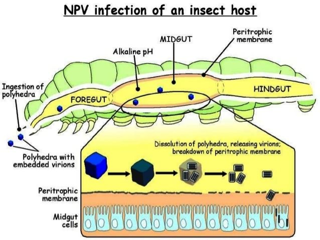 NPV infection of an insect host