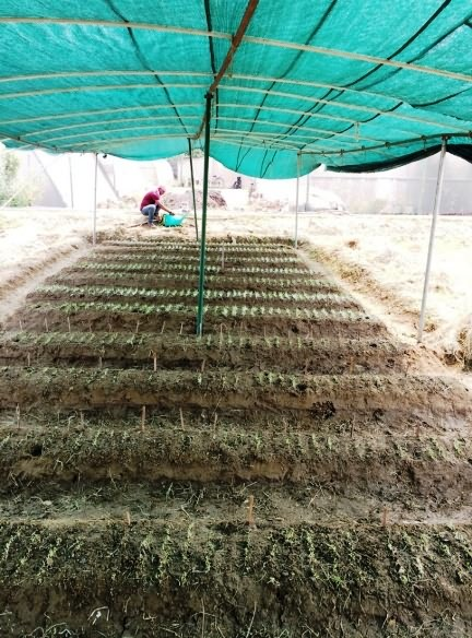 covering cauliflower nursery with green net