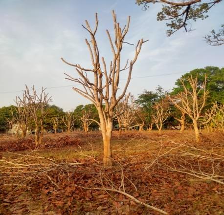 केशर झाडाची छाटणी