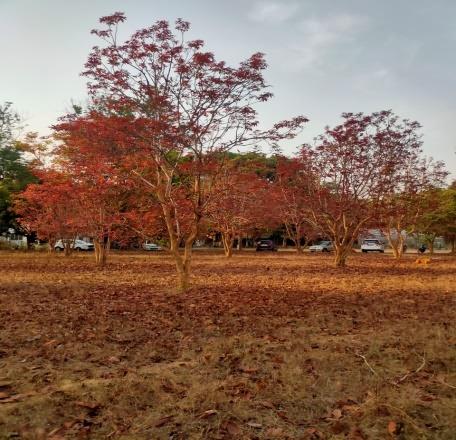 नवीन पाने असलेले कुंकूचे झाड