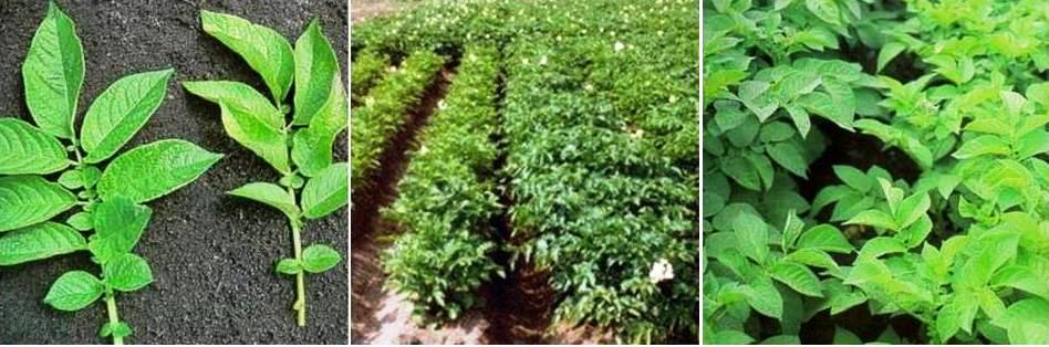 बटाटा मध्ये नायट्रोजनची कमतरता