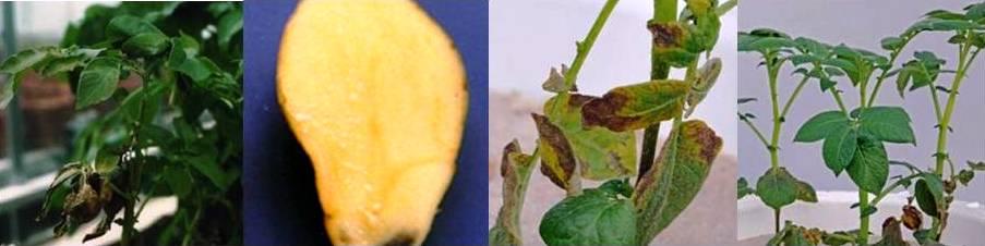 बटाटामध्ये पोटॅशियमची कमतरता