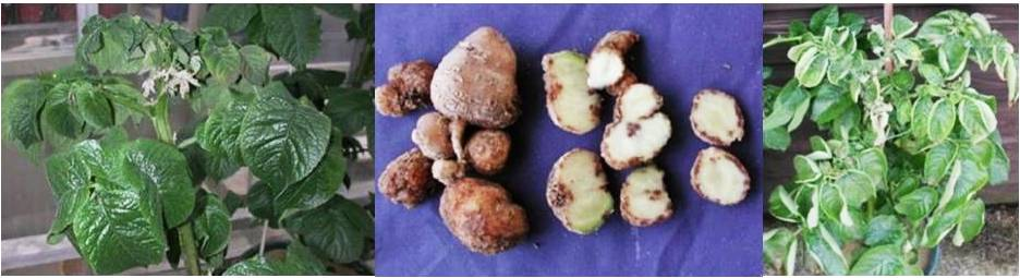 बटाटा मध्ये बोरॉनची कमतरता