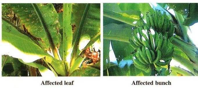 Scarring Beetle infected fruits and Leaf