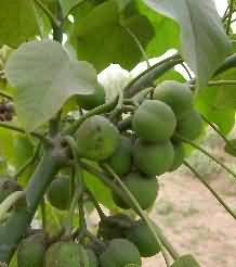 fruits of jatropha