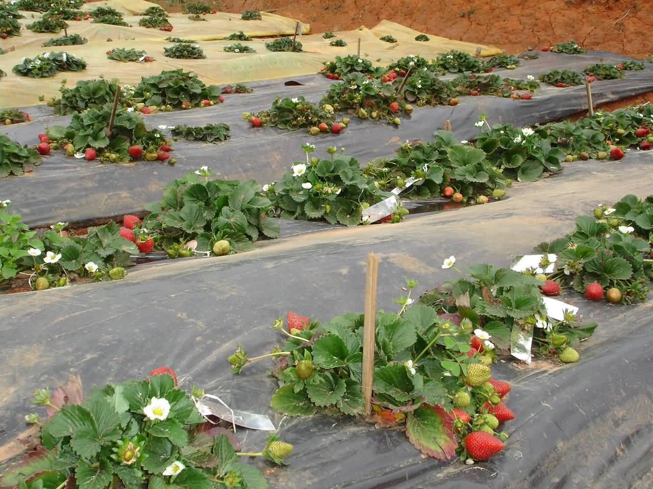 Mulching of Strawberry