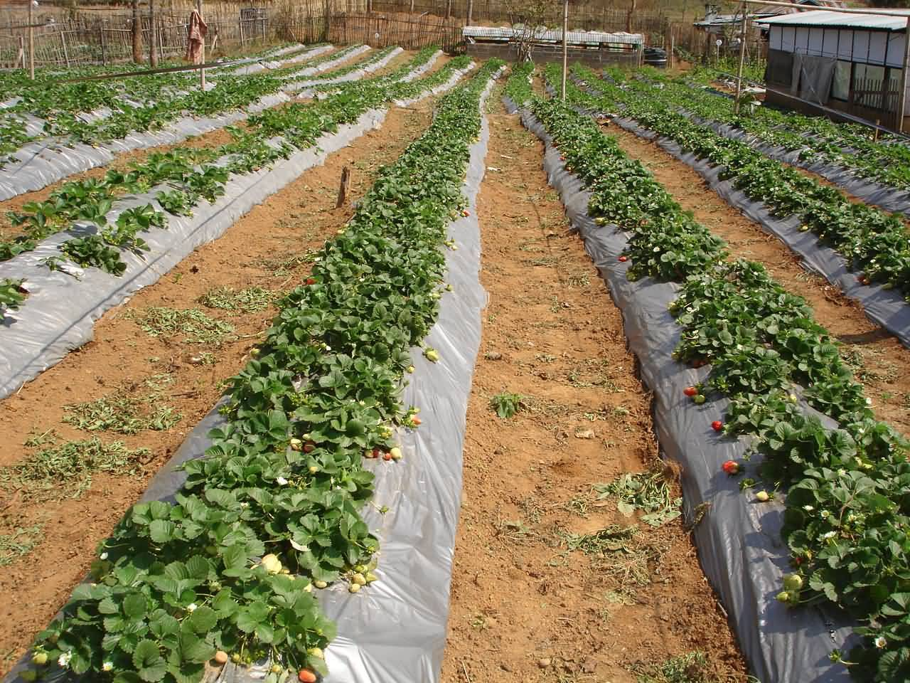 Hill row system of growing Strawberry