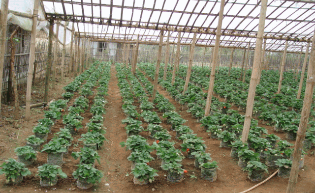 Planting of Strawberry