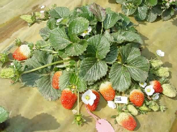 Ofra variety of Strawberry